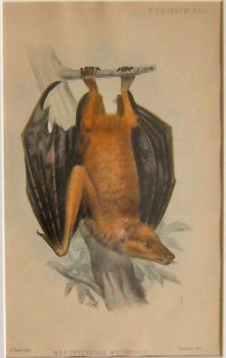 London Zoological Society, Nesoncteris Woodfordl - Product Image