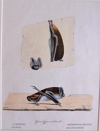La Nottola Noctule, Vesperritio Noctula Die Speckmaus. - Product Image