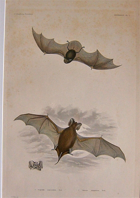 U.S. Exploring Expedition Mammalogy, Pl. I. Peale. 1858 publication. - Product Image